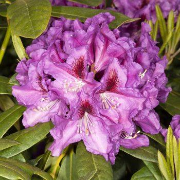 Rhododendron_hybr_Rasputin_U_4272