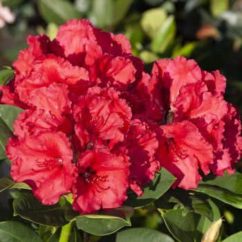 Rhododendron_hybr_Red_Jack_KUS_8811