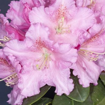 Rhododendron_hybr_Rodrigo_KUS_2600
