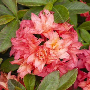 Rhododendron_hybr_Rosenkaeppchen_KUS_7596