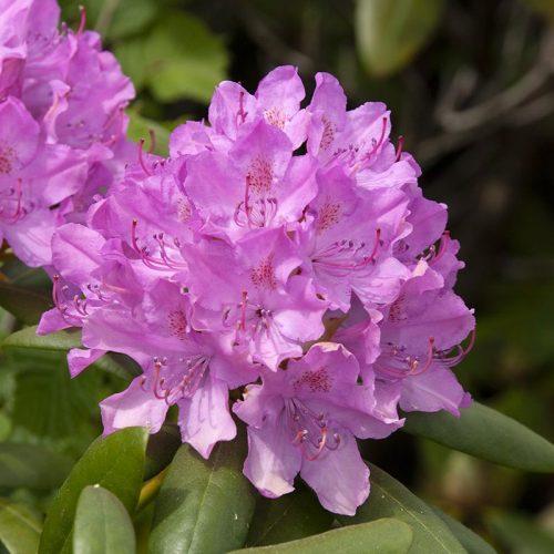 Rhododendron_hybr_Roseum_Elegans_KUS_3630