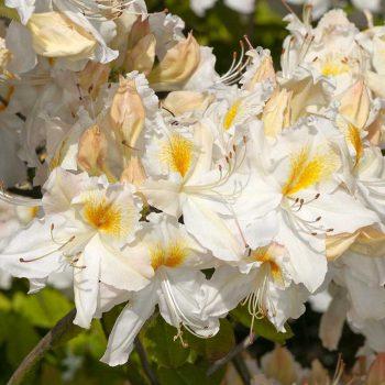 Rhododendron_hybr_Schneegold_U_2321