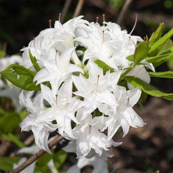 Rhododendron_hybr_Schneekoepchen_KUS_8078