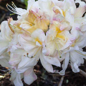 Rhododendron_hybr_Silver_Slipper_TOM_1845