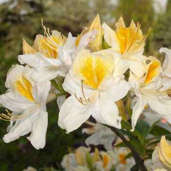 Rhododendron_hybr_Toucan_U_4449