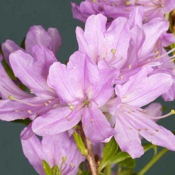 Rhododendron_hybr_Western_Lights_U_3951