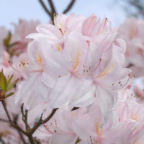 Rhododendron_hybr_White_LIghts_KUS_8278