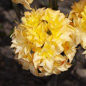 Rhododendron_hybr_Yellow_Pom_Pom_KUS_8101