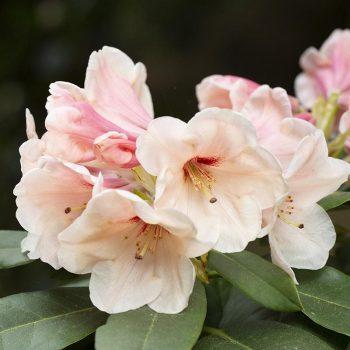 Rhododendron_hybr_hania_141A9844_