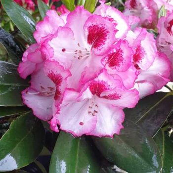 Rododendron Cherry cheesecake (3)