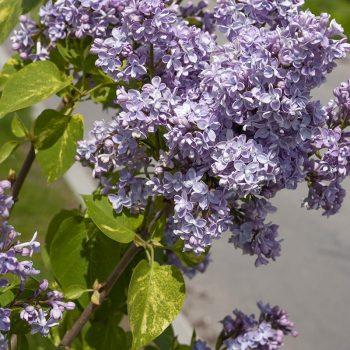 Syringa_vulgaris_Aucubaefolia_KUS_8013