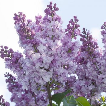 Syringa_vulgaris_General_Pershing_U_3089