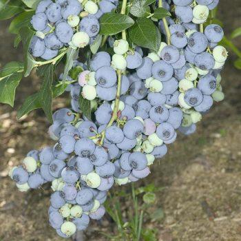 Vaccinium_corymbosum_Bluecrop_KUS_3755