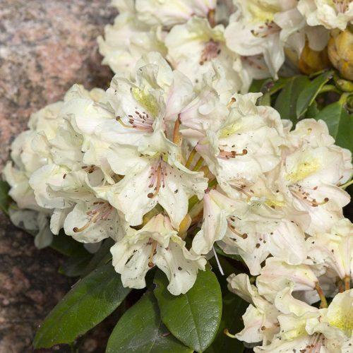 rhododendron_fryderyk_141A9589