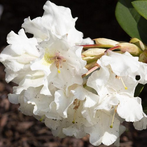 rhododendron_polonez_141A9592